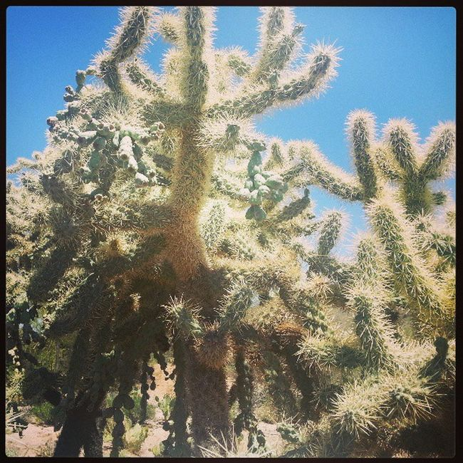 Jumpingcactus Cactus Arizona Desert <3