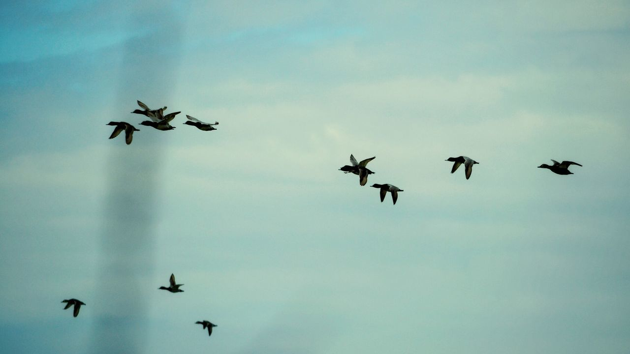 Flying Bird Flock Of Birds Large Group Of Animals Mid-air Animals In The Wild Formation Flying Animal Themes Outdoors Togetherness Nature Silhouette Rural Scene Ducks Duck Springtime Spring Spring Time Perching Speed Pattern Animal Wildlife Animals In The Wild Sky Tranquility