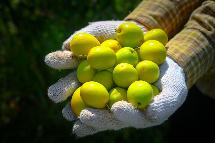 Agriculture Citrus Fruit Close-up Day Food Freshness Fruit Grape Green Color Growth Healthy Eating Juicy Monkey Apple Nature No People Outdoors Yellow ลูกพุทรา