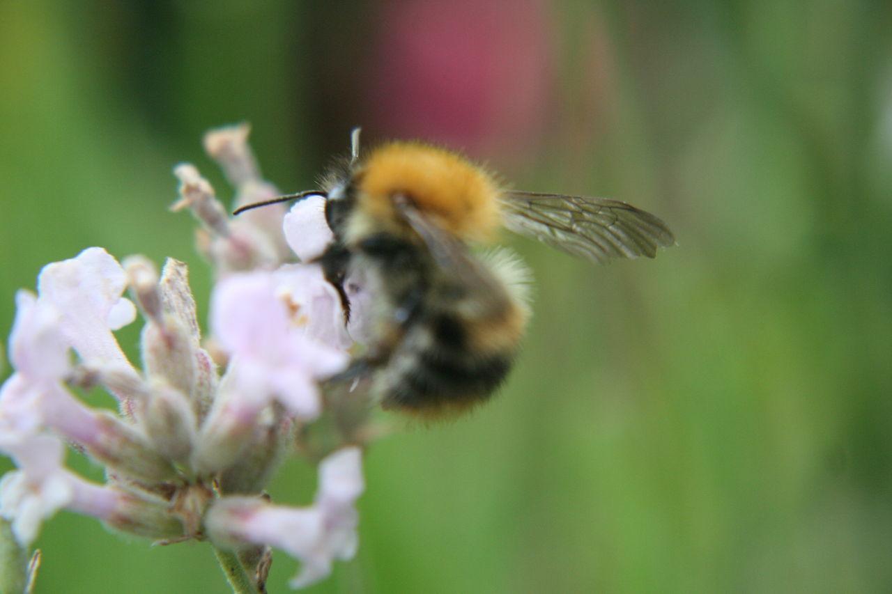 Beautiful stock photos of bee, Animal Themes, Beauty, Bee, Blur Motion