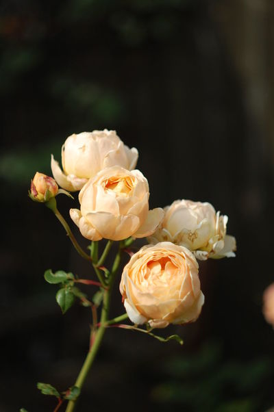 Beauty In Nature Blooming Blossom Botany Close-up Day Flower Flower Head Flowering Plant Focus On Foreground Fragility Freshness Growth In Bloom Nature No People Petal Rose - Flower Selective Focus Springtime White Color
