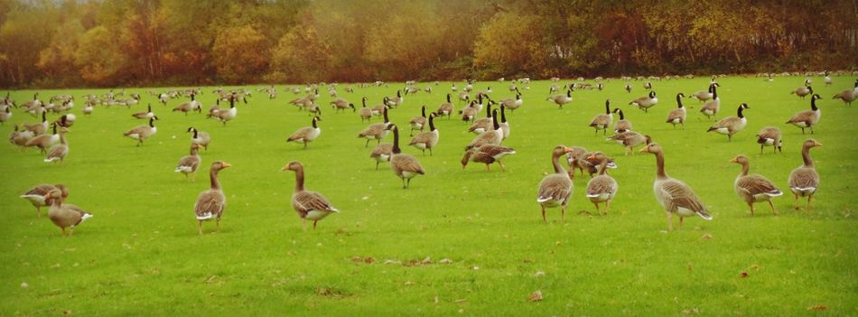 Gaggle Of Geese Large Group Of Animals Animals In The Wild Herd Nature Grass Animal Themes Animal No People Beauty In Nature Landscape Outdoors Day