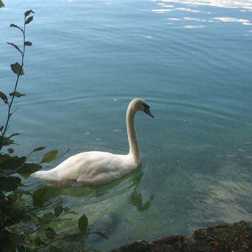 Serene swan on Lake Bled, Slovenia Swan Bird Waterbird Lake Bled, Slovenia Slovenia Bled Graceful Nature Water Lake Swimming White Floating On Water Outdoors Day Tranquility Close Up
