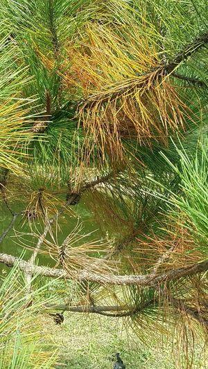 Pine Tree Pjne Needles Tree Wood Branches Pond Water Nature Beautiful Crisp Changing Colors Fall Autumn Orange Green
