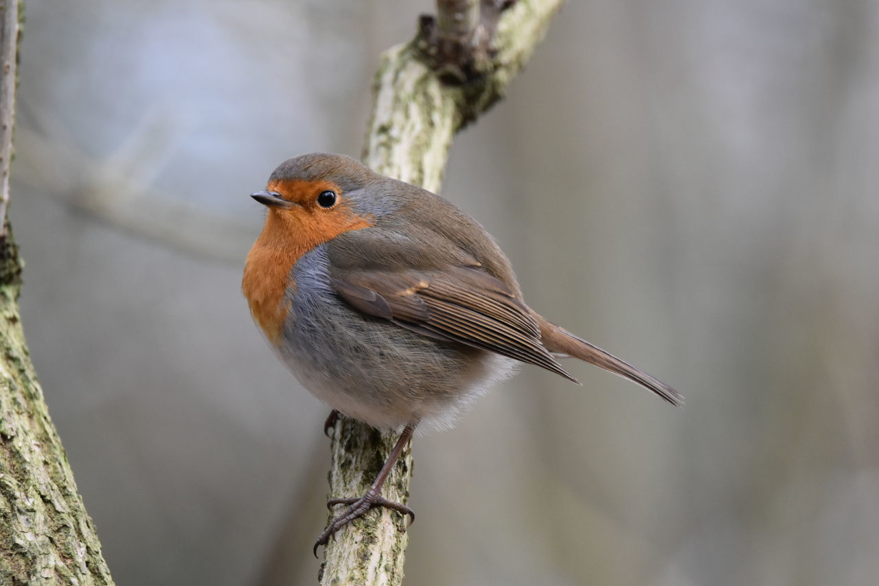 robin...hanningfield One Animal Animal Wildlife Bird Animals In The Wild Animal Themes Focus On Foreground Close-up No People Perching Nature Living Organism Outdoors Day Robin NikonD5500