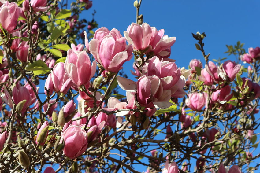 blooming magnolia flowers on the tree Magnolia Beauty In Nature Blooming Blossom Branch Close-up Day Flower Flower Head Fragility Freshness Growth Low Angle View Nature No People Outdoors Petal Pink Color Plant Sky Tree