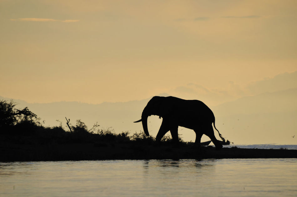 Beautiful stock photos of elefant,  Animal,  Animal Themes,  Beauty In Nature,  Dusk