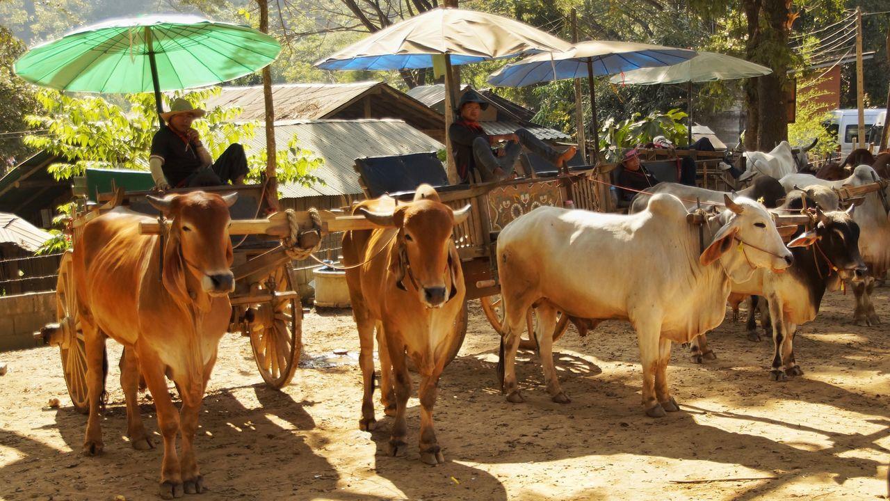 Ox  Ochsen Kutsche Kutschfahrt Thailand Elephantcamp Chiang Mai | Thailand Spotted In Thailand