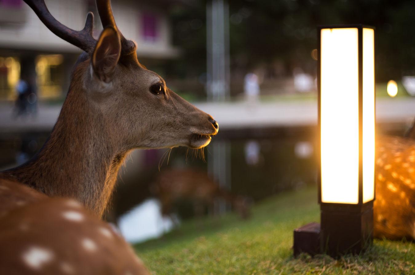 夕暮れ時の奈良公園 Pentax K-5Ⅱs Oldlens Rikenon Japan Nara Narapark Deer 奈良県 奈良公園 ペンタックス オールドレンズ リケノン 和製ズミクロン