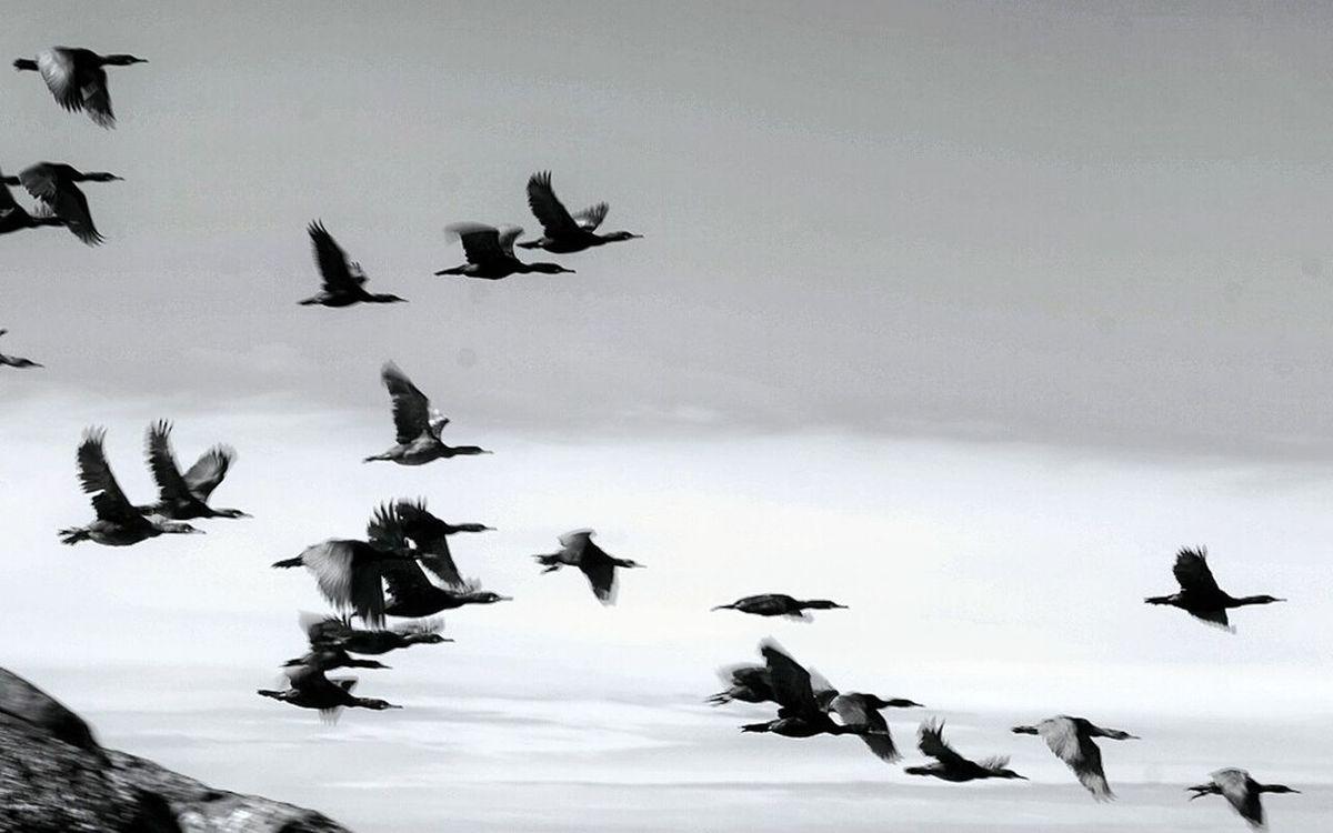 The cormorants on the fly Blackandwhite Photography Norway🇳🇴 Wildnature Cormorants Myken Helgelandskysten