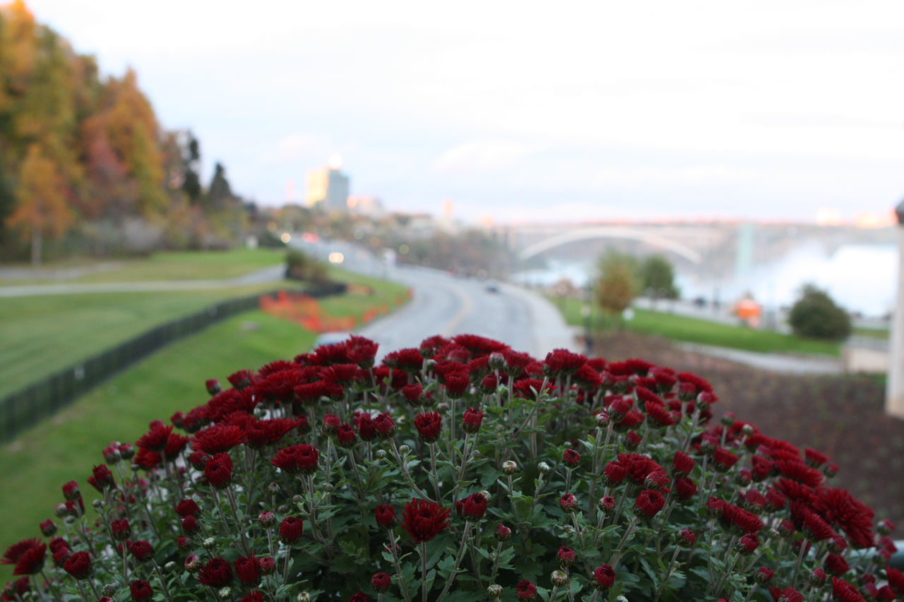 Red Flowers Blooming In Park