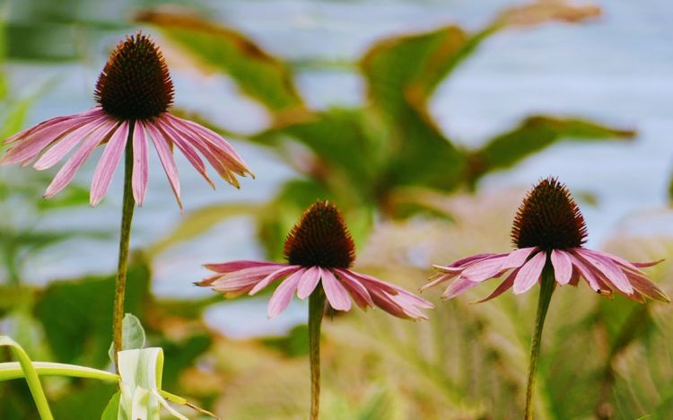 Flower Eastern Purple Coneflower Coneflower Fragility Nature Beauty In Nature Plant Flower Head Purple Freshness Petal Day Outdoors Pink Color Focus On Foreground No People Growth Close-up