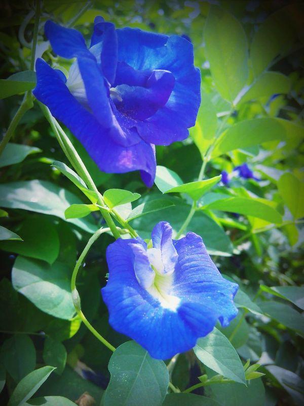 Name ---> Butterfly pea, Blue pea Thai Flowers Thanks For Picks I Feel Blue