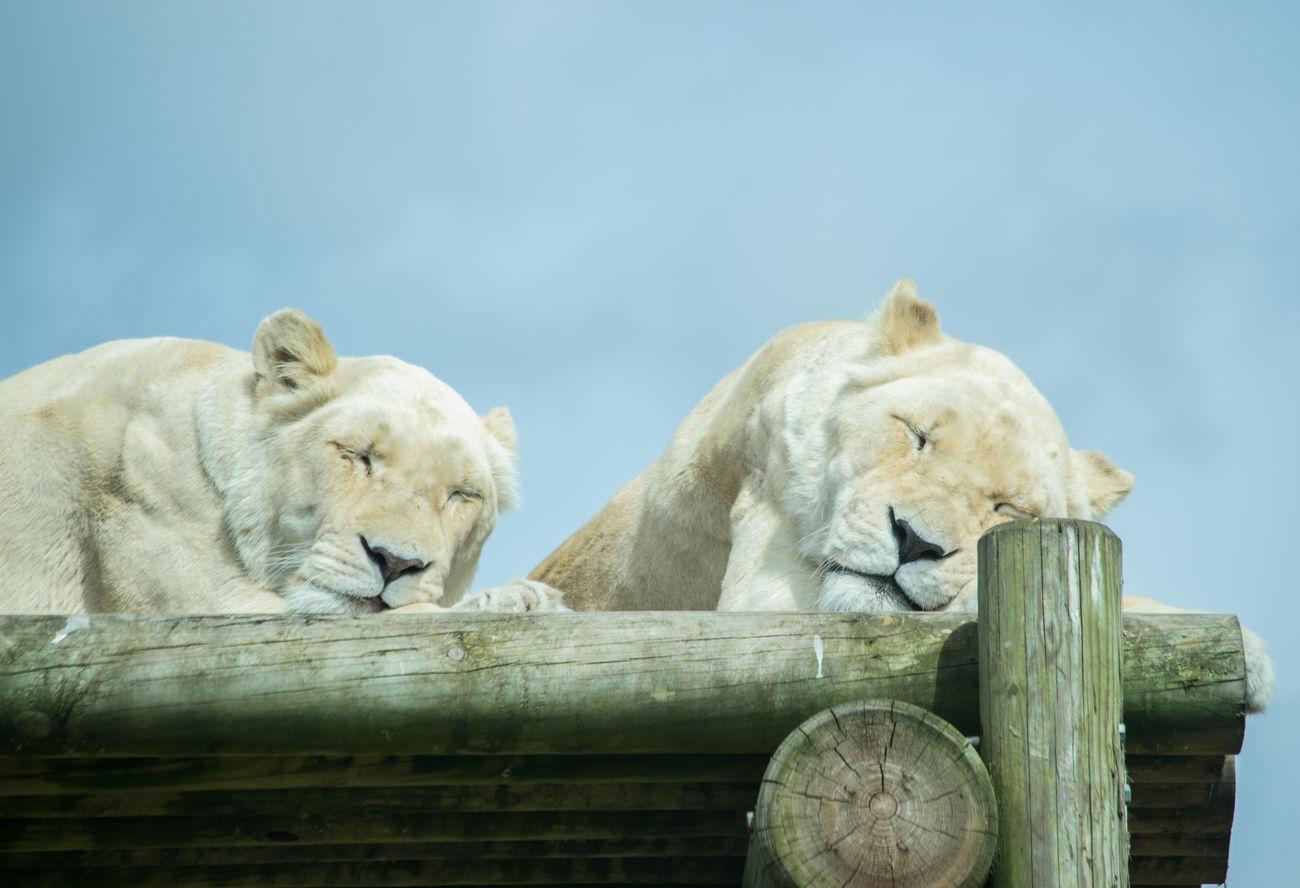 Beautiful stock photos of löwe, Animal, Animal Hair, Animal Head, Animal Themes