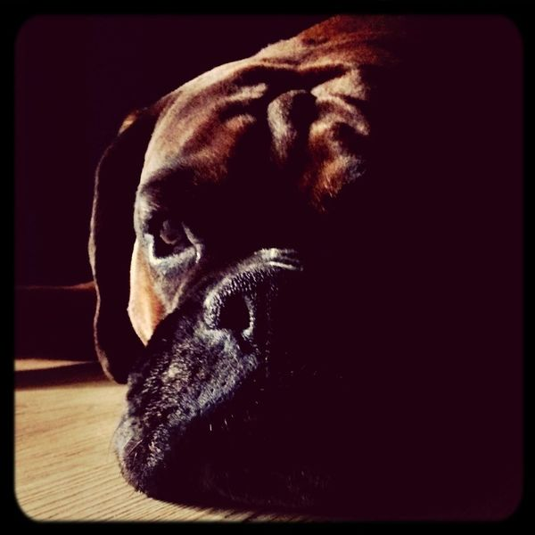 I Love My Dog Boxer Dogs Boxer Dog Light And Shadow