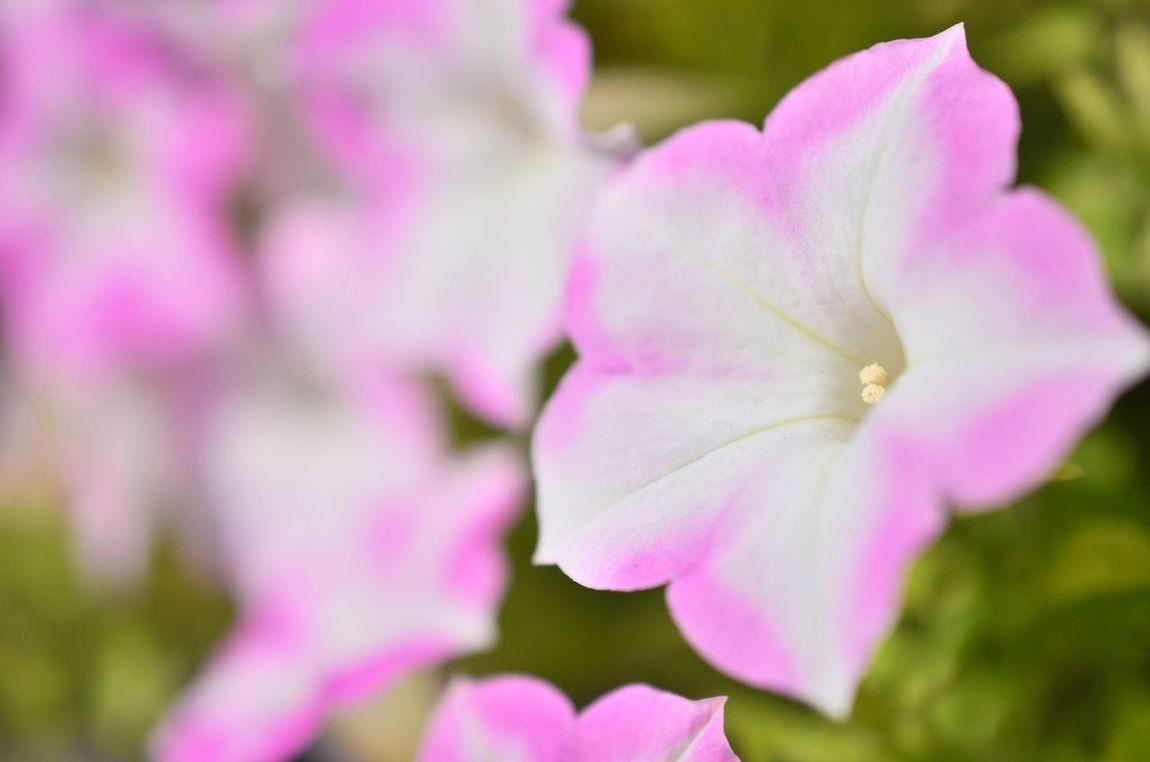 朝顔です。 Asagao Flowers あさがお 朝顔