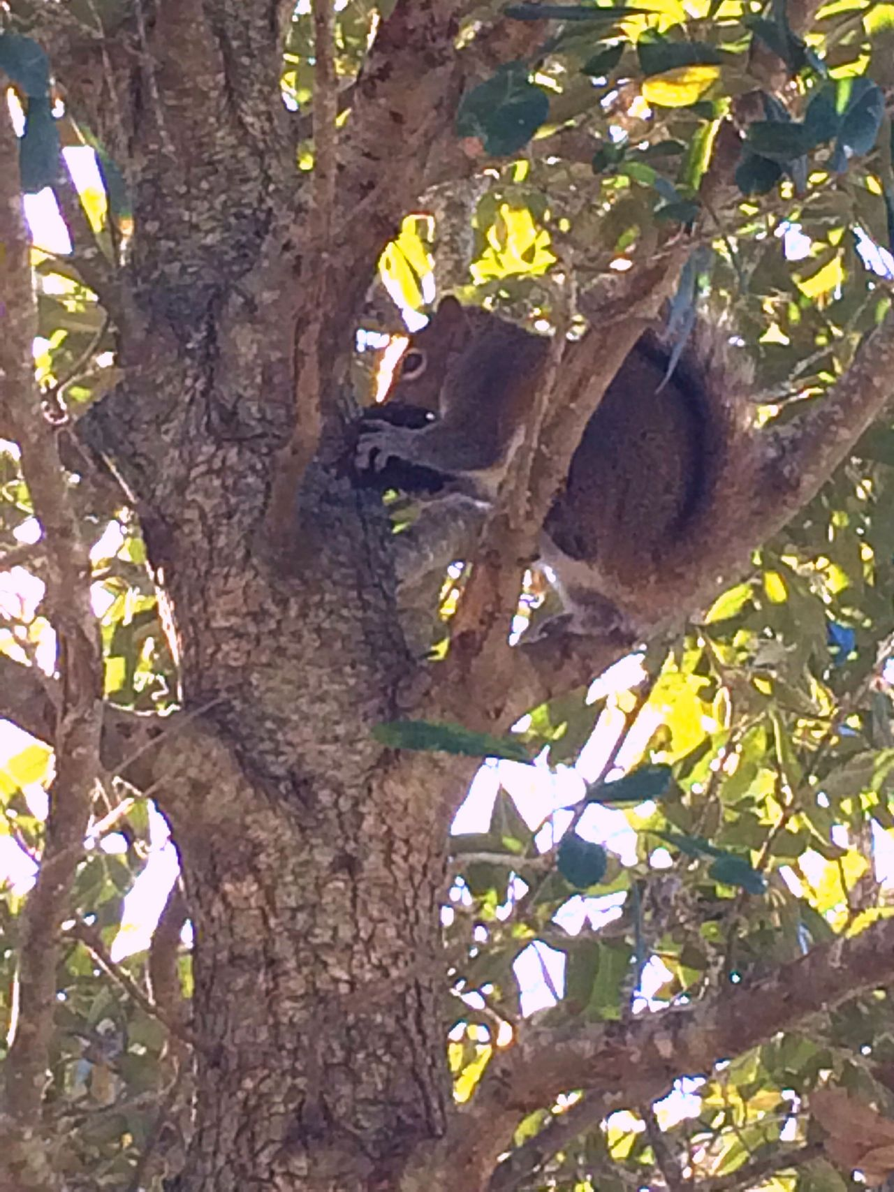 Squirrel In Tree Squirrel Eating A Nut Tree Time Lunchtime For Squirrel Animal In Nature RookieCam Nuts_about_squirrels Do You Mind Munching Down In A Tree