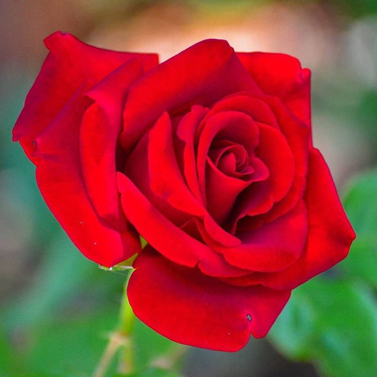 🌹Macro Rosé Red Flower Flowers Red Green Nature Close