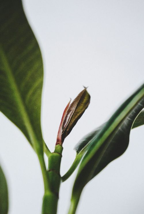 Close-up Nature Green Color Leaf Plant No People Beauty In Nature Fragility Indoors  Freshness Lessismore Minimalist Plantlife Bright Houseplant White Background Minimal Simplicity Homesweethome Greenery Rubberplantation Ficuselastica Macro Sony Ficus Leaf EyeEmNewHere