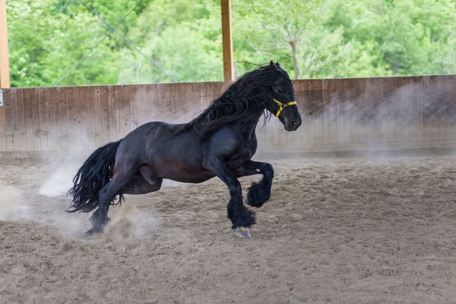 Animal Black Black Color Brown Day Focus On Foreground Horse Mammal Nature No People Outdoors