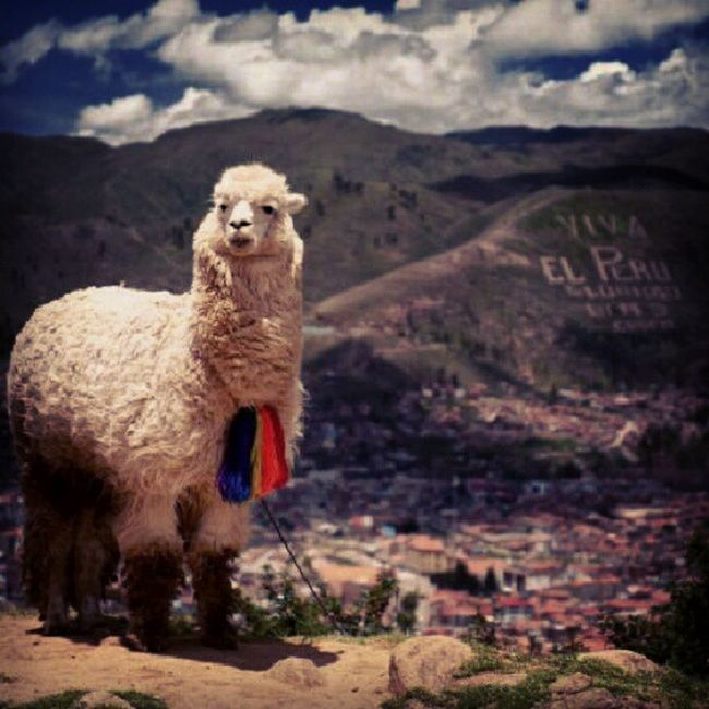 This is all I want to see when I go to Peru Flightclub AirTransit Peru Peruvianfood JetSetters AngryLama VivaLaPeru @minah_22 CantWait FreeBoosie FreeDeandreJordan FlightToday