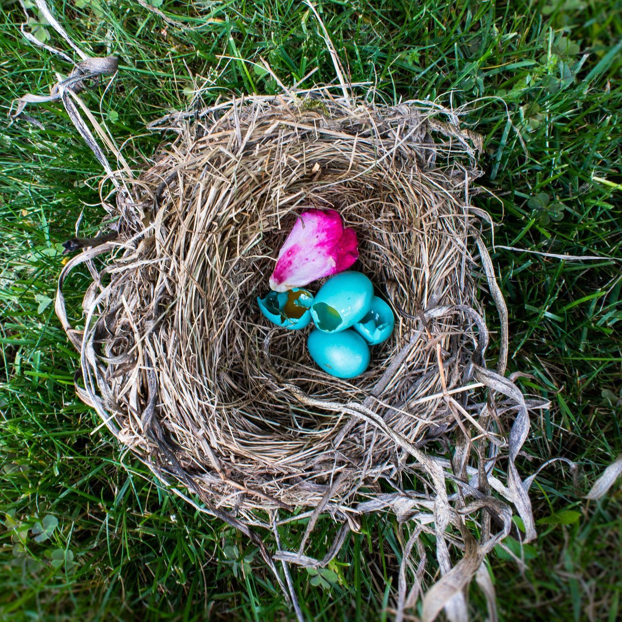 Bird's Nest. Animal Nest High Angle View New Life Bird Nest Beginnings Egg Grass No People Outdoors Fragility Close-up Robin Nature Day