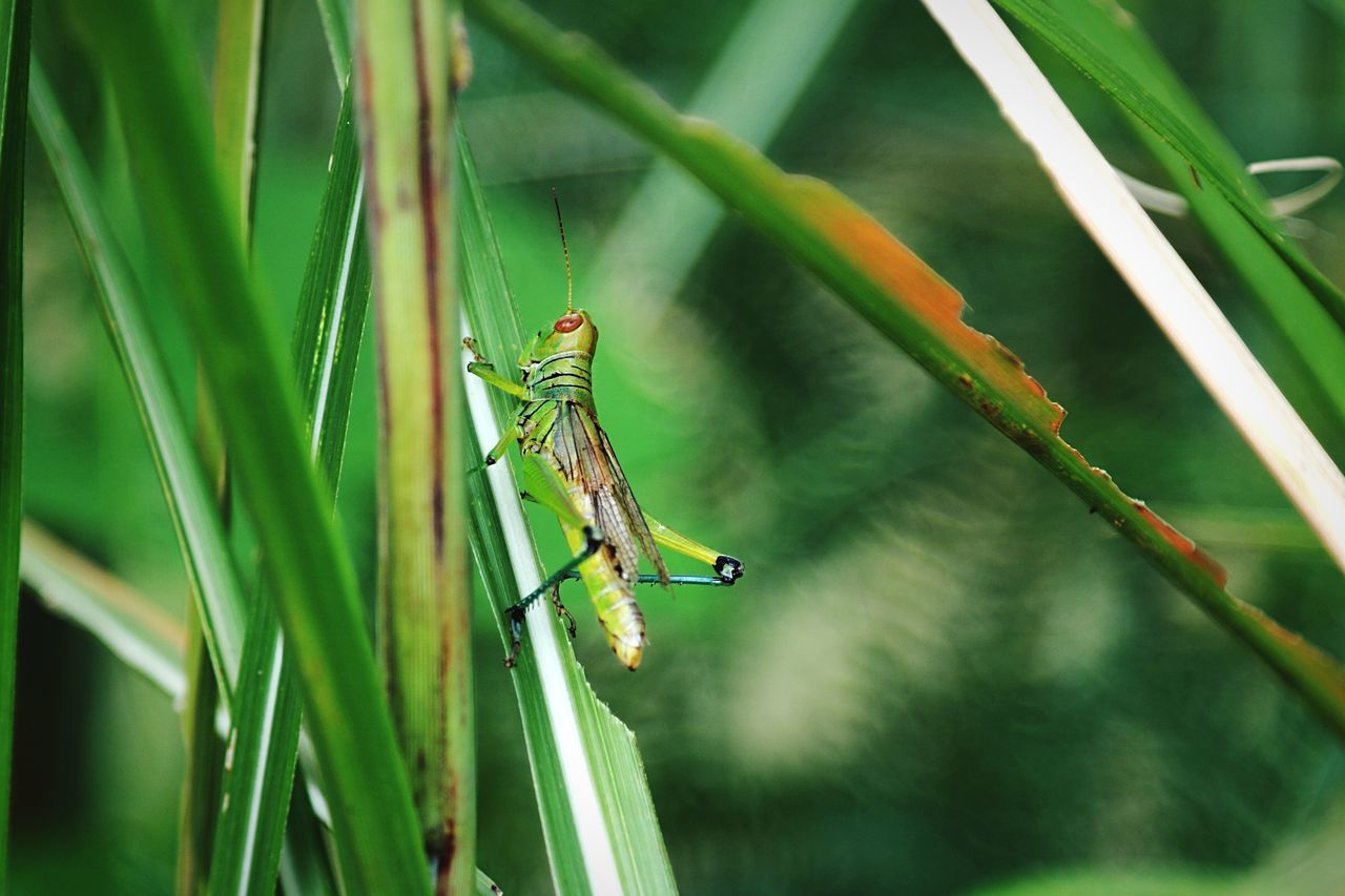 Beautiful Life Grasshopper Grasshoper Grasshopper Insect Nature Grass Grassfield Nature Green Nature Photography Green Color Beauty In Nature Beautiful Nature Insect Insect Photography