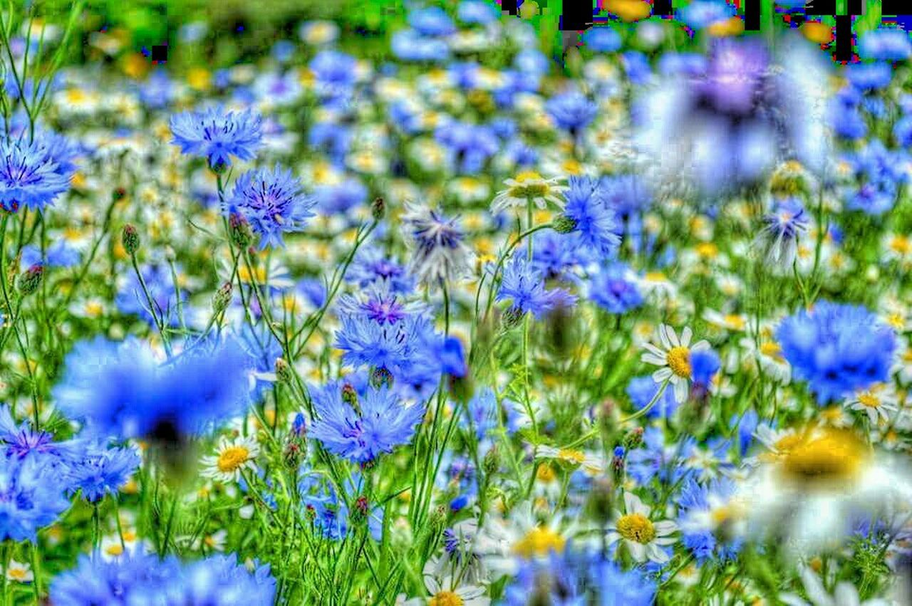 Taking Photos Blue Wildflowers I Blue It On The Side Of The Road Gloucestershire UK EyeEm Best Shots - Nature On The Verge EyeEm Nature Lover Wild Flowers Colour Splash