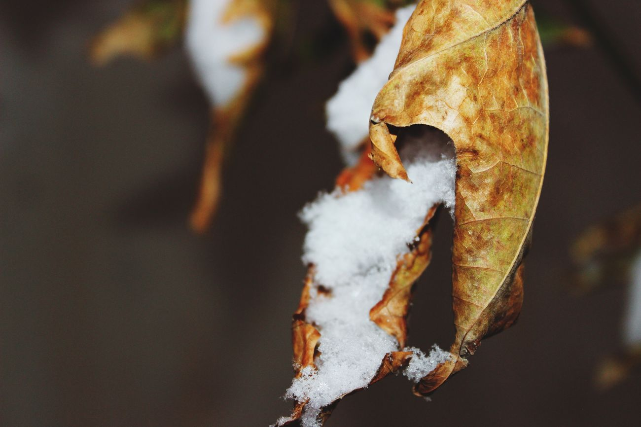 Snow Flakes EyeEmNewHere Beauty In Nature Close-up Nature Outdoors No People Winter Leaf Cold Temperature Tree Fall Snow Orange