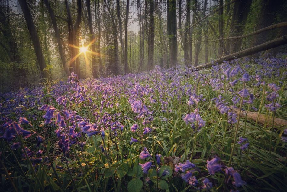 Blue Dusk | I wish I never saw the sunshine An' if I never saw the sunshine Then maybe I wouldn't mind the rain Blue Bluebells Bluebell Wood Northamptonshire The Great Outdoors With Adobe Woods Forest Trees Sunset Sun Through The Trees Sunset In The Forest Flowers Flower Porn Flowers, Nature And Beauty Purple Beauty In Nature Tree Landscape Sunset Landscape Tree And Sunset Sunstar The Essence Of Summer Dusk In The Woods 43 Golden Moments Natures Diversities The Great Outdoors - 2016 EyeEm Awards