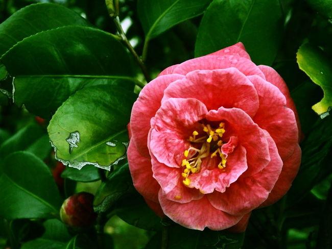 Flowers Camellia Nature 花 椿