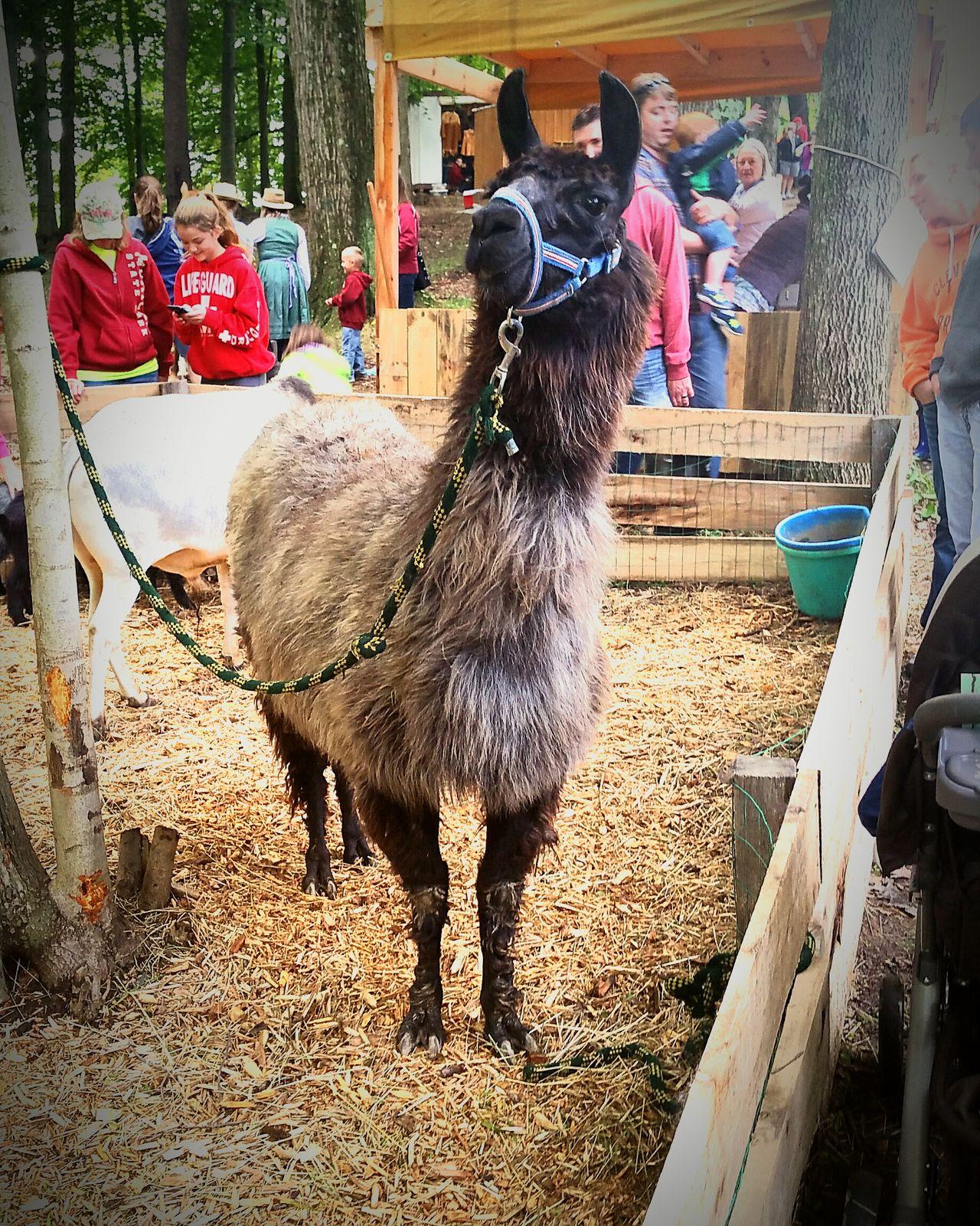 Llama Yankeepedlar Pettingzoo Cheese! Hello World Traveling