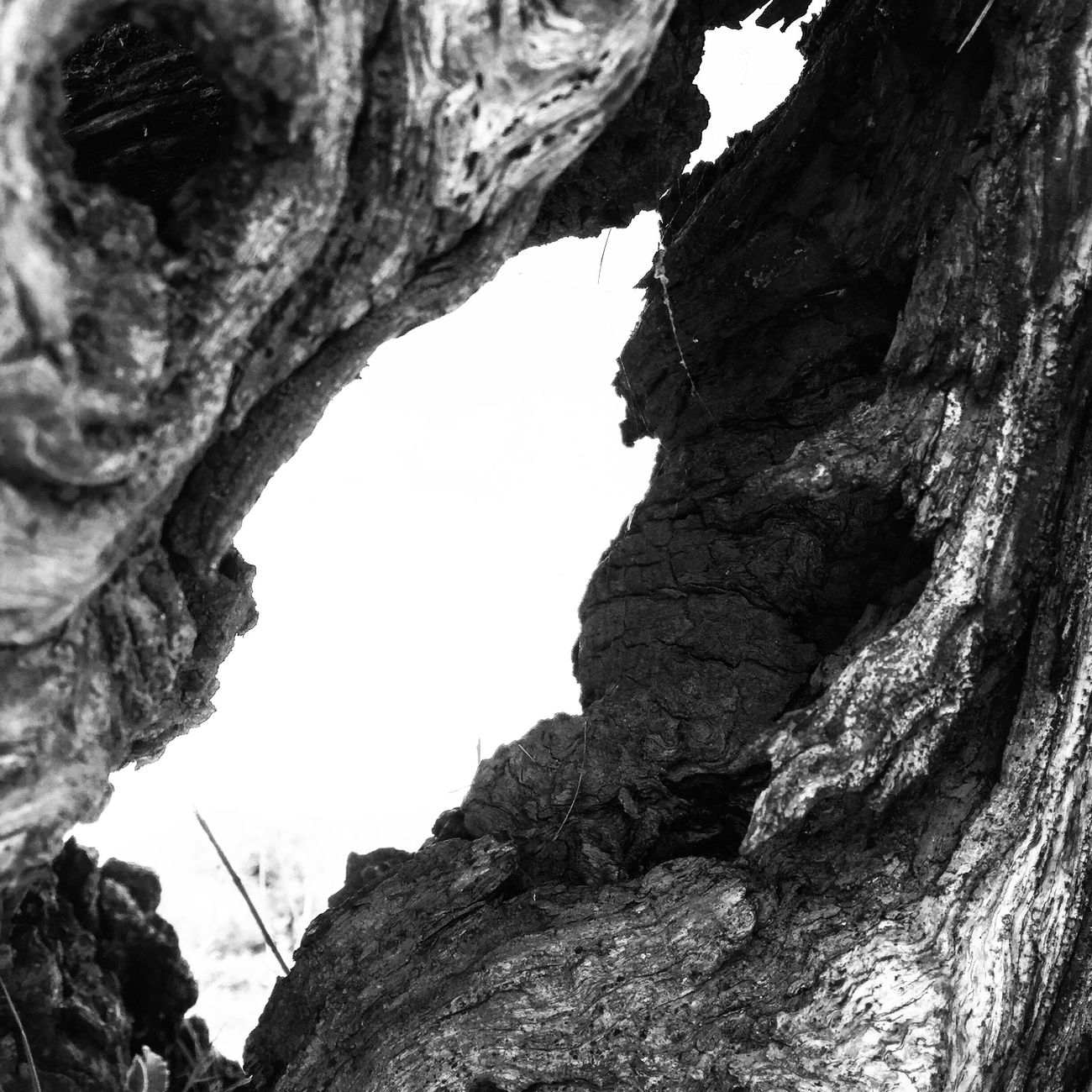 Geology Nature Tree Olive Tree Blackandwhite Textured  Tranquility Beauty In Nature Rough Catalunya