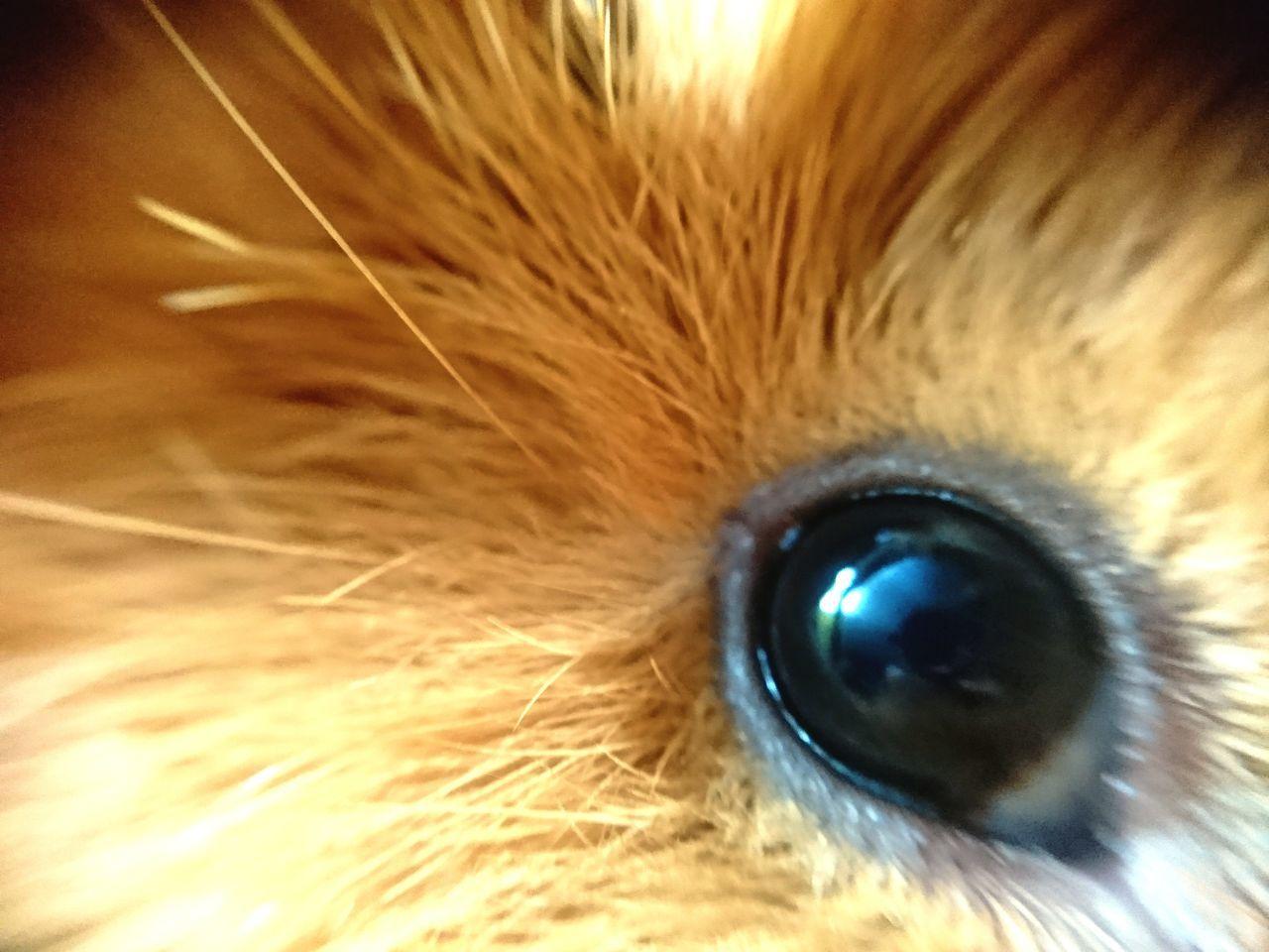 Eyelash Eyesight Full Frame Iris - Eye Close-up 365days365photos Sony Xperia Xz This Week On Eyeem Personal Perspective Domestic Animals Pets Macro_collection Nature_collection EyeEm Best Shots EyeEm Nature Lover Guineapiglove Guinea Pig Mammal No People Happy Eye