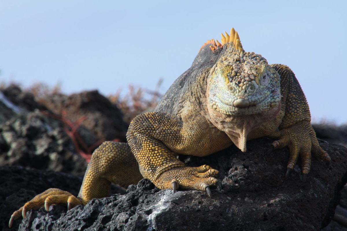 Animal Scale Animal Themes Animal Wildlife Animals In The Wild Claws Close-up Day Ecuador Galapagos Galapagos Iguana Galapagos Islands Iguana Lava Rock Lizard Nature Nature No People One Animal Outdoors Red Plant Reptile Rock Sky Smile