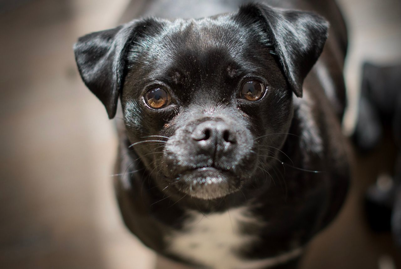 Looking up Looking At Camera Pets One Animal Domestic Animals Animal Themes Portrait Mammal Black Color Close-up Focus On Foreground No People Day Creative Light And Shadow Brown Eyes Pet Photography  Pets Corner Dog Love Dogs Of EyeEm Dog