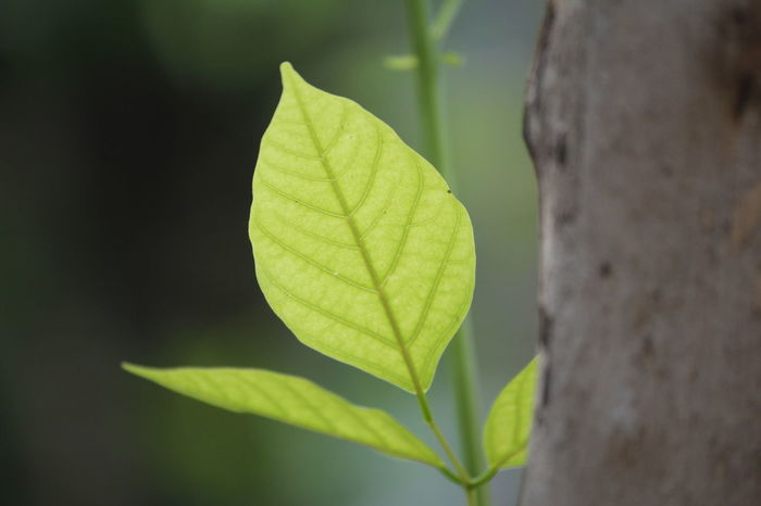 Leaf Close-up Nature Green Color Growth Freshness Tree Green Leaves☘️ Green Background Leaves On Branches Patterns In Nature Plant