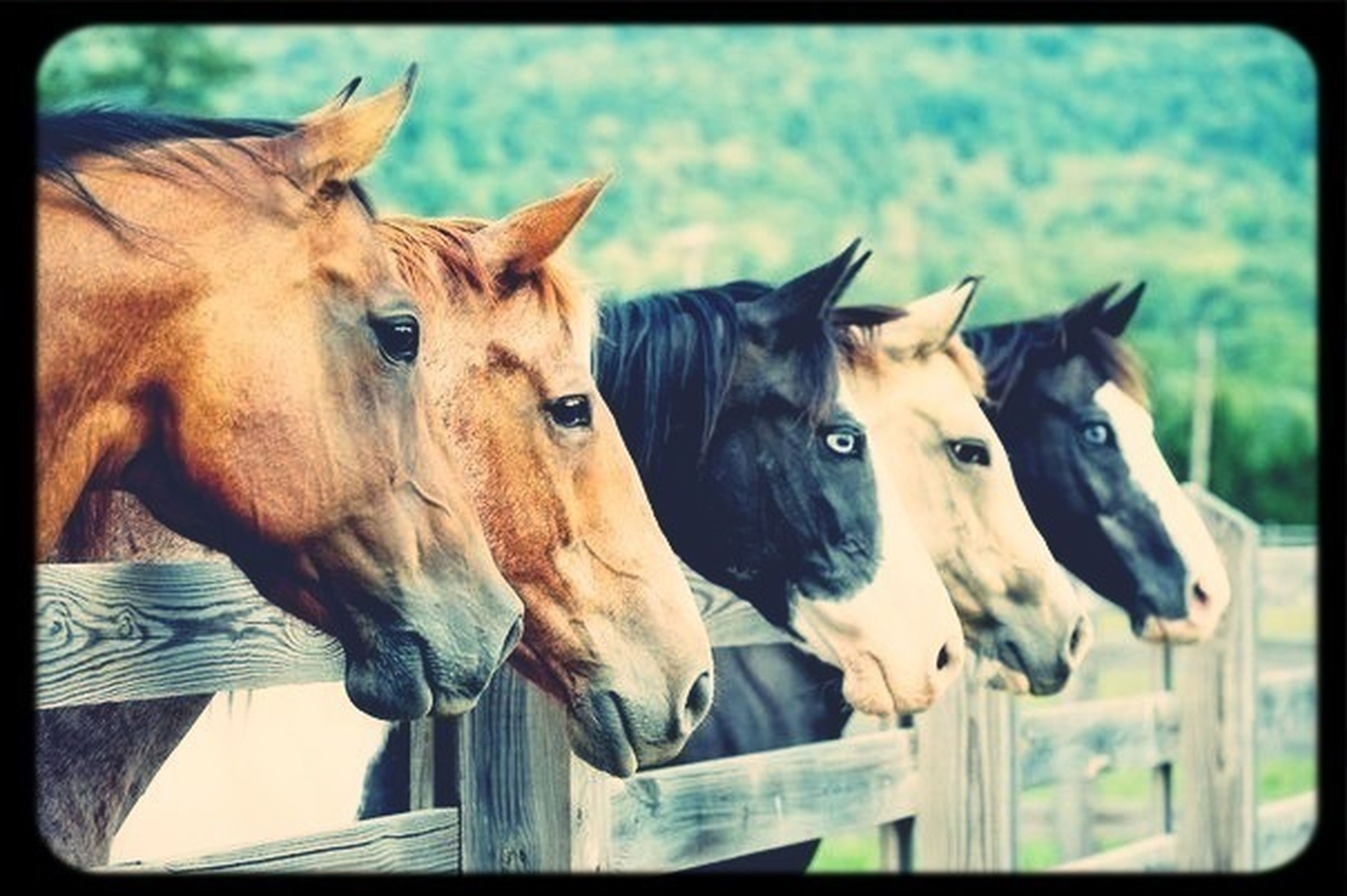 animal themes, transfer print, mammal, domestic animals, horse, auto post production filter, livestock, two animals, herbivorous, animal head, one animal, focus on foreground, fence, day, standing, close-up, outdoors, togetherness, working animal, no people