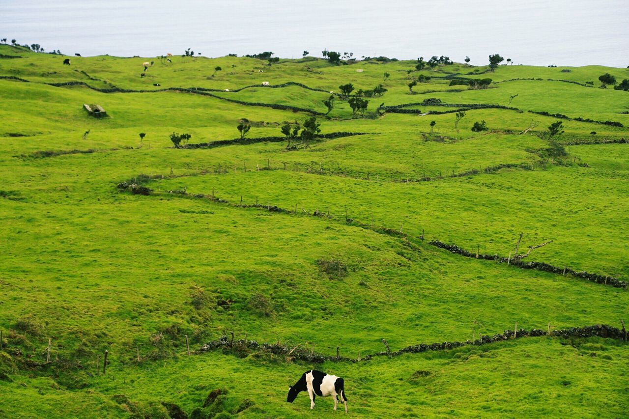 Green Azores Cow Nature Animals Milk Greenfields