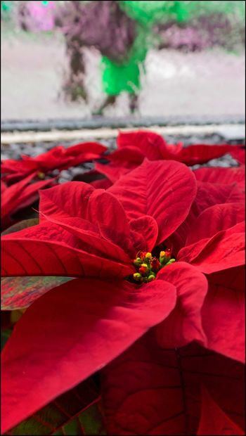 DT**** _ Poinsettia in a window - 12/6/17 Be. Ready. EyeEmNewHere My Unique Style The Street Photographer Beauty In Nature Close-up Focus On Foreground Malephotographerofthemonth