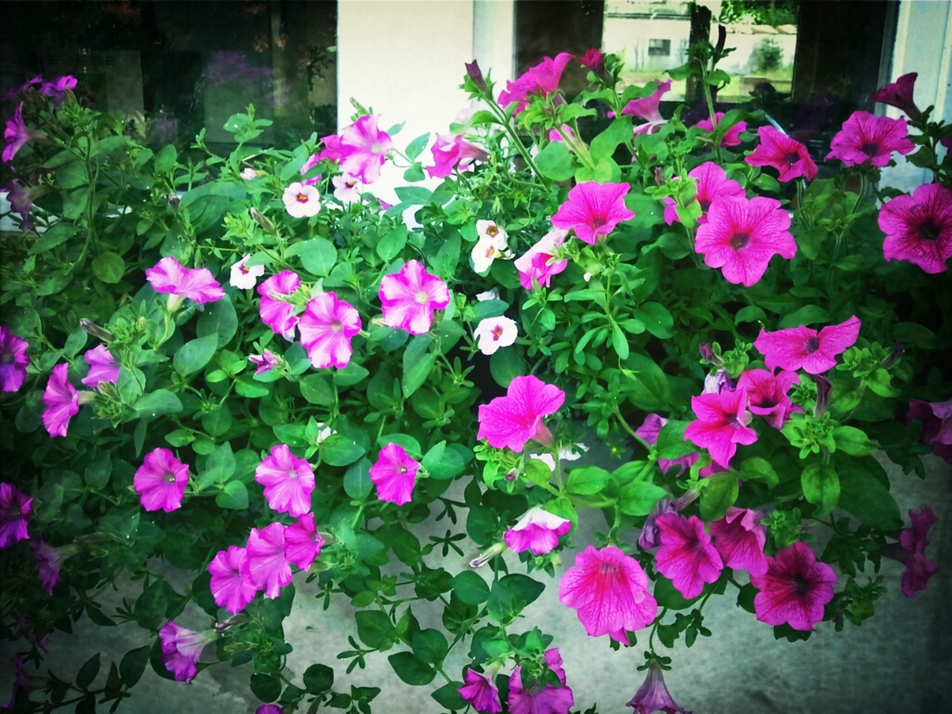 flower, freshness, fragility, growth, petal, beauty in nature, plant, leaf, blooming, flower head, nature, pink color, in bloom, purple, blossom, day, no people, springtime, outdoors, multi colored