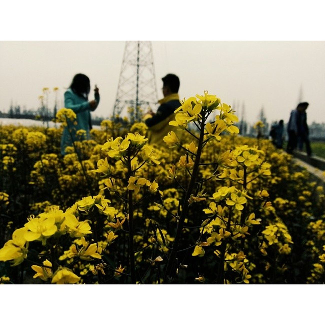 油菜花 湖南农业大学 长沙 Flowers changsha vscocam vsco hunan china 田园 colefield