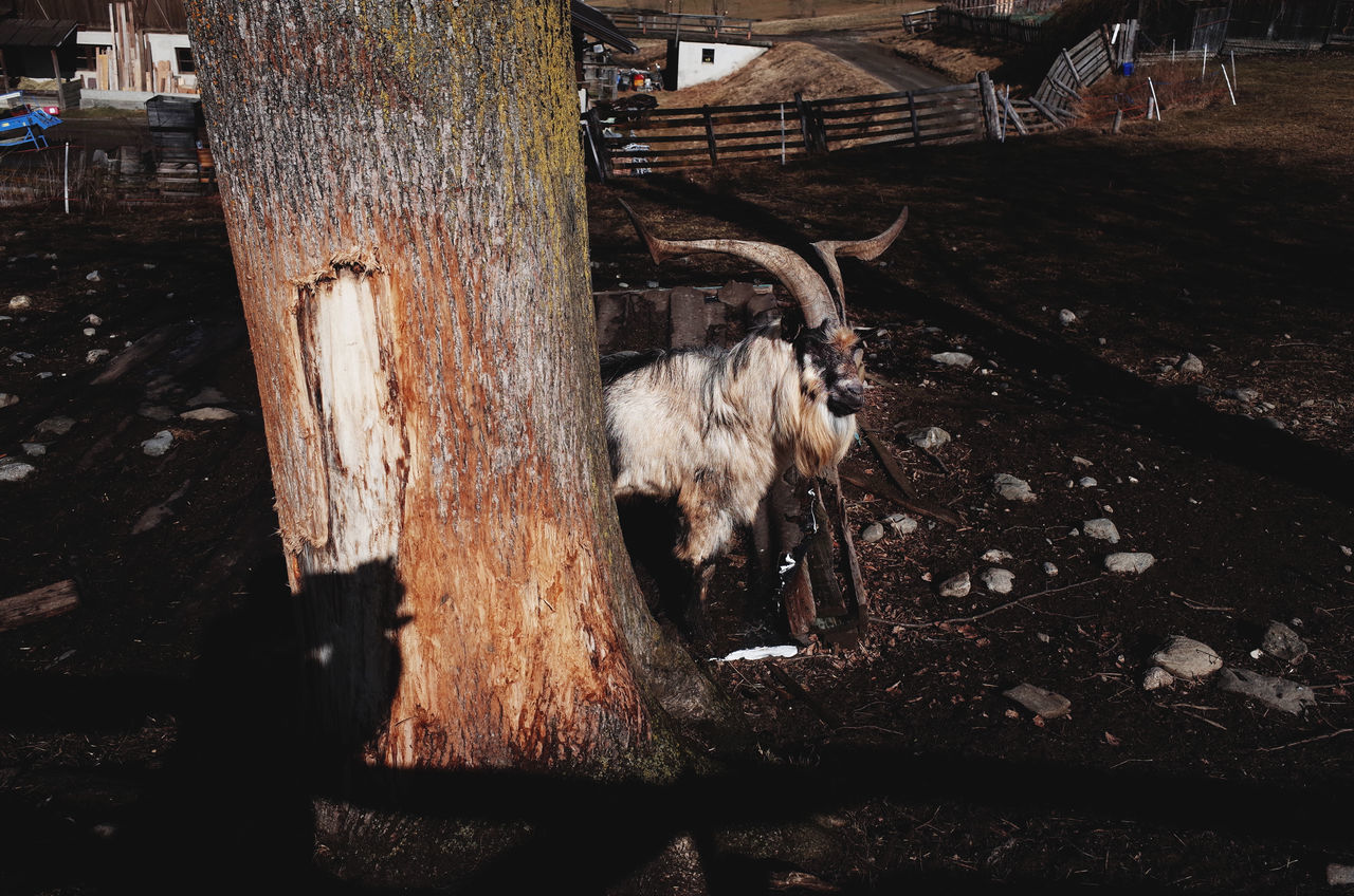 Animal Animal Themes Cattle Country Country Life Dairy Farm Farm Farm Animal Farm Life Farming Fence Goat Goat Life Healthy Hiding Horns Livestock Livestock Mammal One Animal Park Rural Scene Sunlight Sunlight And Shadow Tree
