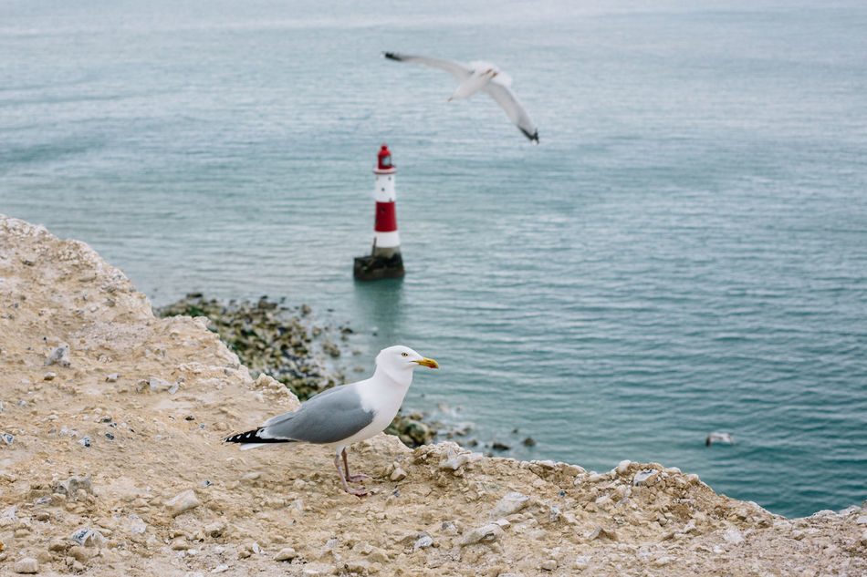Animal Themes Animal Wildlife Animals In The Wild Beach Beachy Head Bird Brighton Day Flying Great Britain Lighthouse Lighthouse_lovers My Year My View Nature No People One Animal Outdoors Sea Sea Bird Seagull Sky Water White Seagull
