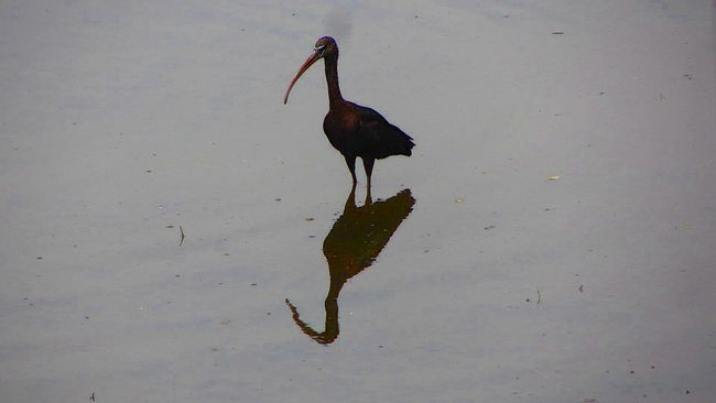 Australia Beauty In Nature Bird Bird In Water Bird Photography Day Full Length Ibises Long Beak Nature No People Outdoors Water Wild Animal Wild Bird Reflection