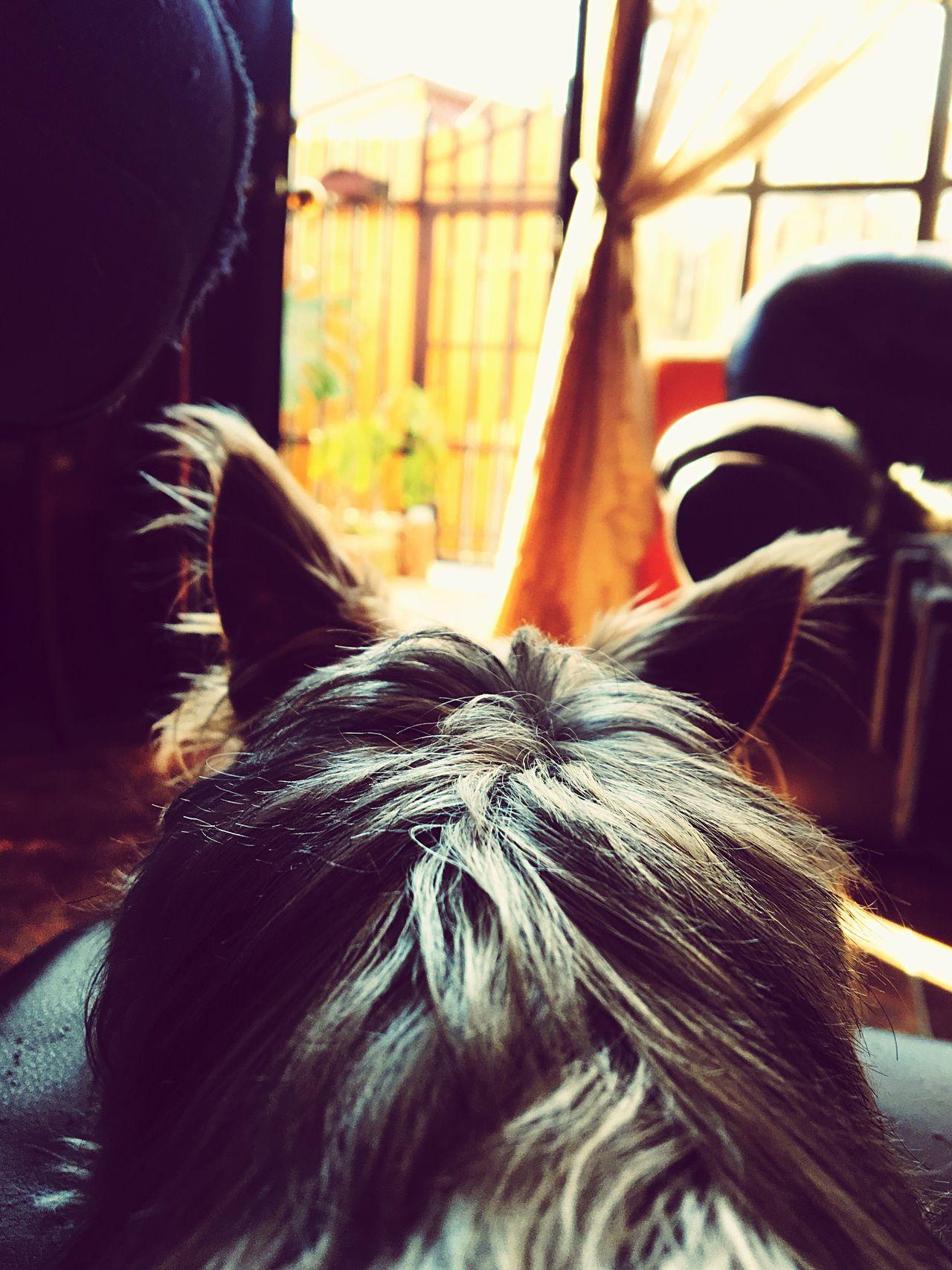 Waiting Dog Horizont  Yorkshire Ear Waiting Sunset Dog Love Inconditional Love