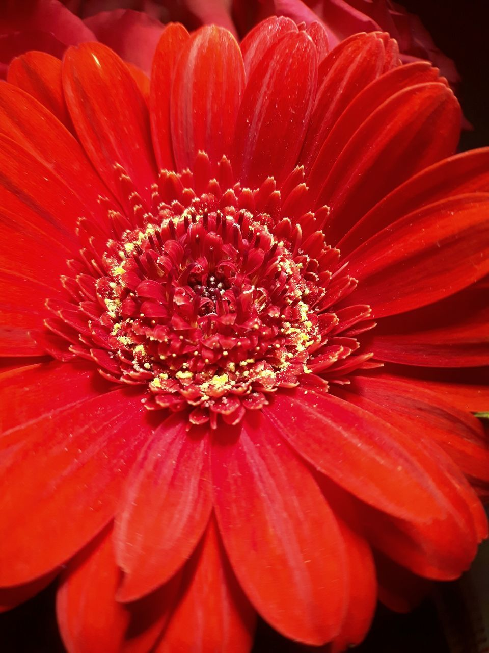flower, petal, flower head, fragility, beauty in nature, freshness, nature, pollen, growth, no people, red, close-up, plant, blooming, day, outdoors, gazania