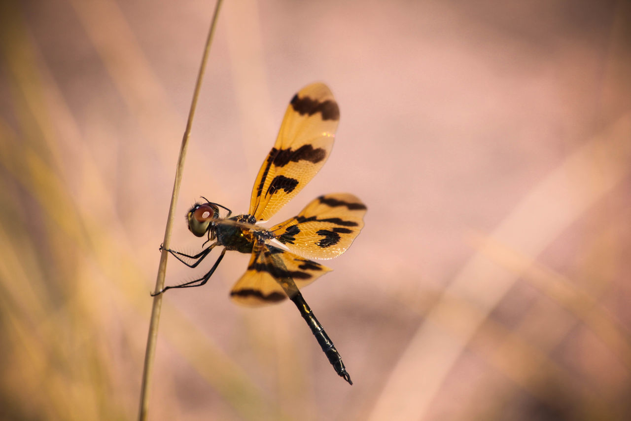 Animal Photography Animal Themes Animals In The Wild Australia Close-up Dragonfly Dragonfly Nature Insects Insect Nature Nature Photography Wildlife Wildlife Photography