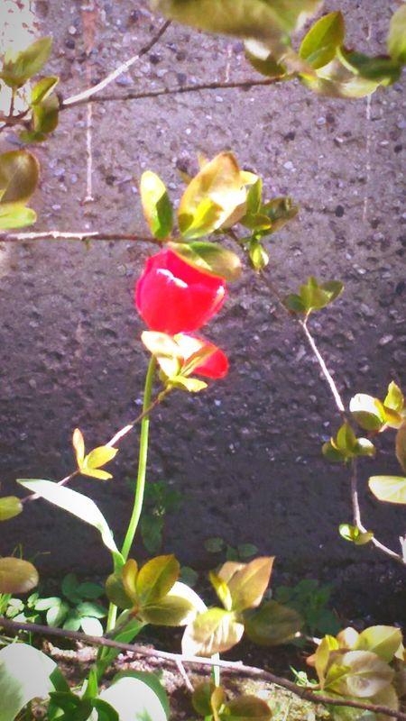 Red tulip First Eyeem Photo