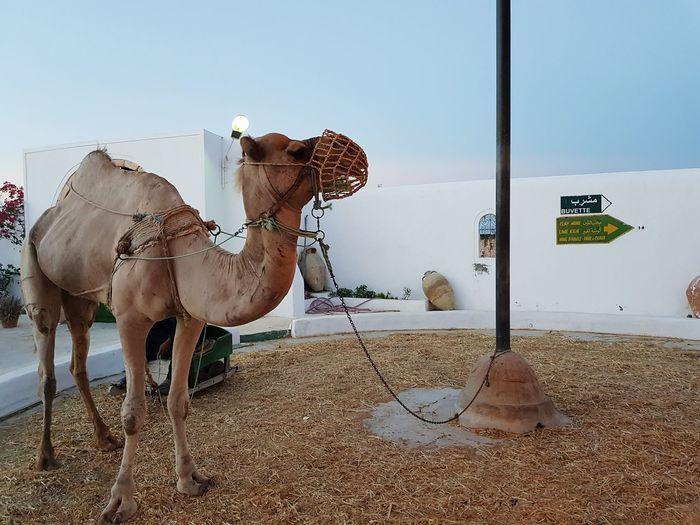 EyeEm Selects Sand Desert Outdoors Day Travel Destinations No People Sky Nature Animal Themes Mammal Camels Djerba  Guellala Museum Museum Sunset Djerba, Tunisia Camel Djerba  Architecture History Beauty Island